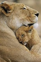 Mothers day lions